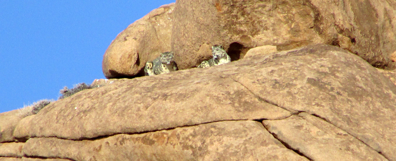 two_snow_leopards