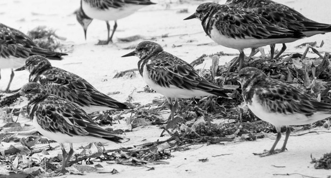Turnstones - Image by Danny Adcock