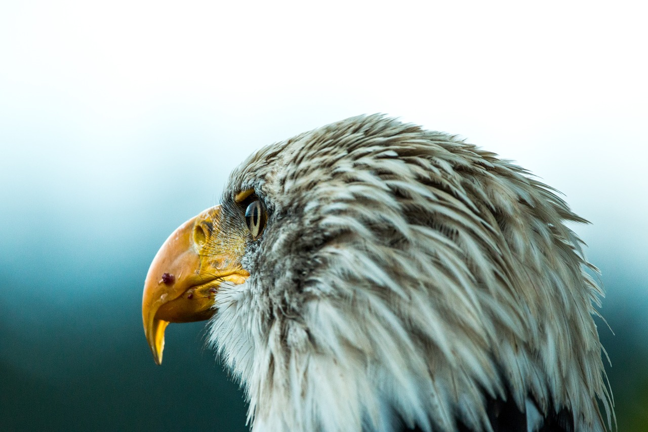 bald eagle research paper Lead exposure in free-flying bald eagles in iowa  6  abstract   involved with such an interesting and important research topic  your wisdom  the final chapter is a paper describing the factors that influence  nest.